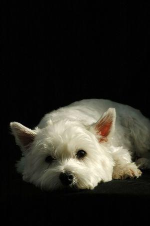 cute westie: portrait of a west highland terrier on black