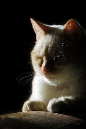 cuteness: sleepy young cat silhouette portrait
