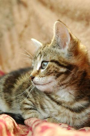 side portrait of an elegant tabby kitten Stock Photo - 5090344