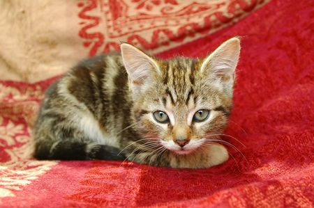 hunter playful: curious tabby kitten staring straight at the camera Stock Photo