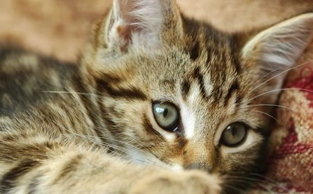 tabby kitten close-up with eyes creeping over outstretched paw Stock Photo - 5090343