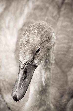 swan signet with water droplets on its feathers photo