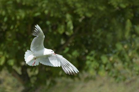 white dove: paloma blanca, s�mbolo de la paz y la pureza de