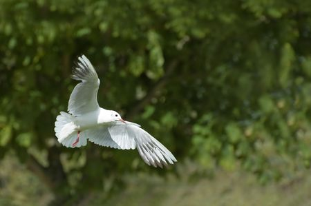 white dove; a symbol of peace and purity photo