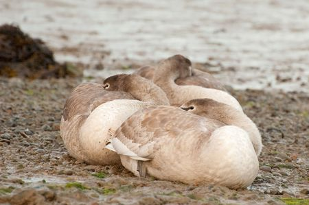 stoney: three swan signets on a stoney riverbank