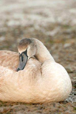 signet: sello de cisne en una orilla del r�o pedregoso de dormir  Foto de archivo
