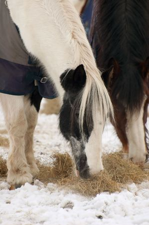 horses eating hay in a snowy paddock photo