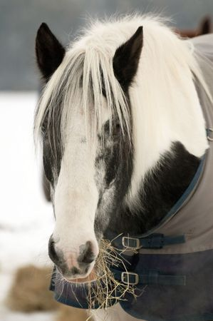 horse eating hay in a snow covered paddock photo