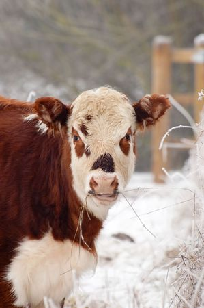 wintry: young female cow in a wintry field Stock Photo