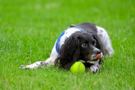 guard dog: playful spaniel guarding her tennis ball after a game of fetch