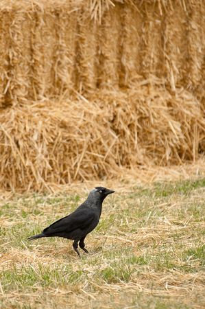 farmyards: avian rook on a background of straw bales Stock Photo