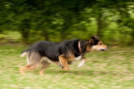 perro corriendo: Desenfoque de movimiento de un gran perro ejecutando  Foto de archivo