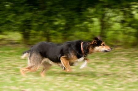 streamlined: motion blur of a large dog running