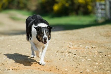 unleashed: unleashed adult collie dog walking down a sandy lane