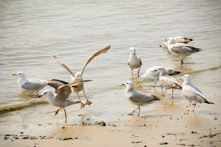 dieren: Flock of seagulls waden op een zandstrand Stockfoto