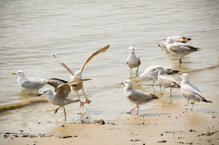 wading: flock of seagulls wading on a sandy beach