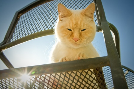 bigodes: blue eyed birman cat with big whiskers on garden furniture