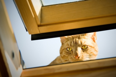 ginger tom cat peeping though an open window photo