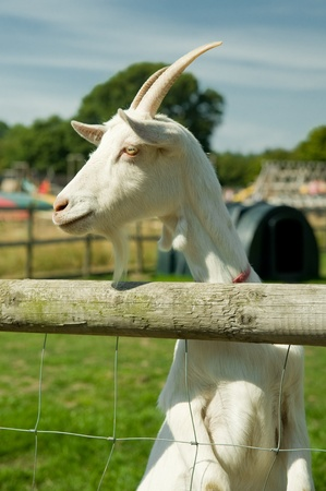 farmyards: farmyard goat looking over its paddock fence Stock Photo