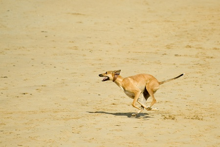 lurcher: energetic dog running at speed on a sandy beach