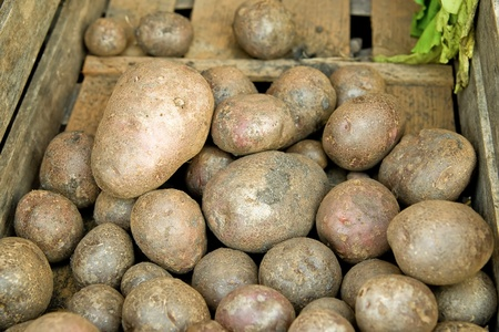 spud: old potatoes in a wooden box