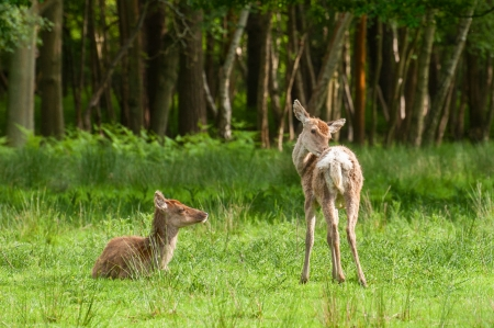 young red deer fawns in woodland photo
