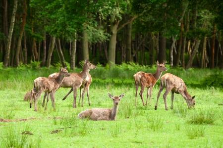 herd deer: small herd of red deer grazing in woodland Stock Photo