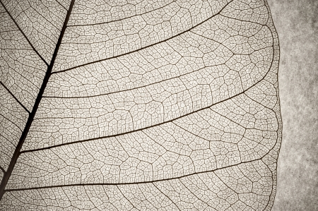 leaf vein: grunge macro of a delicate leaf cell structure