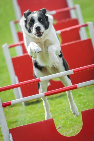 Agility: large dog on an agility jumping course Stock Photo