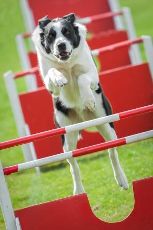 agility dog: large dog on an agility jumping course Stock Photo