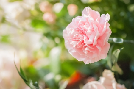 closeup of a single pink carnation flower and green foliage