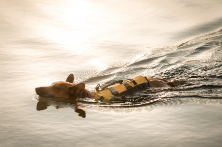 flotation: small dog wearing a flotation jacket swimming at sunset