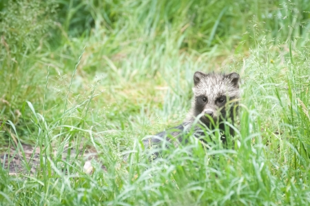 a young magnut raccoon dog hiding in grassy undergrowth photo