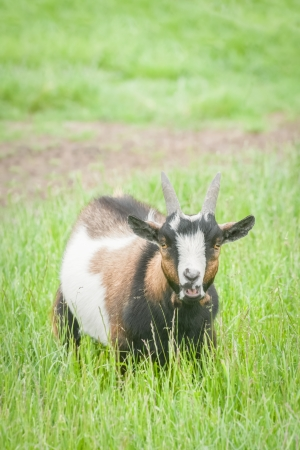 bleating: closeup of a bleating farmyard goat in a grassy meadow