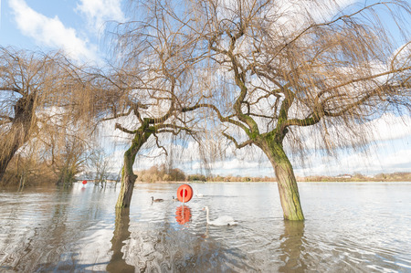 FLOODING: swans and geese on flooded parkland near the Thames river in Windsor, UK