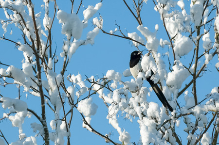 magpie perched in snow covered tree branches photo