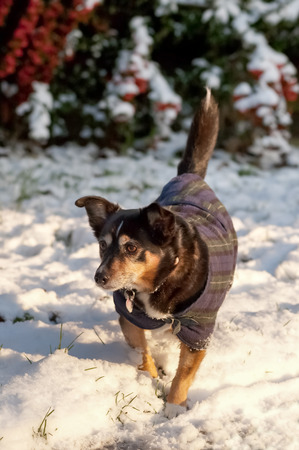 wag: small dog in a coat playing in the snow Stock Photo