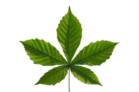 castaÑas: castaño de hoja aislado en blanco
