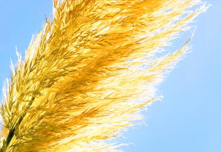 crop harvest: golden harvest crop against blue sky