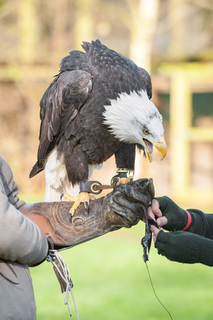 handler: north american eagle on the arm of an expert falconry handler
