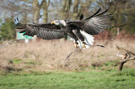 north american: captive north american eagle in flight
