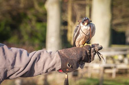 cetreria: halc�n peregrino con capucha en el brazo de un experto en cetrer�a