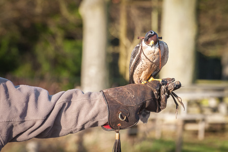 peregrine falcon: hooded peregrine falcon on the arm of a falconry expert Stock Photo