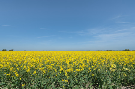 rapeseed: crop of flowering rapeseed plants against a blue sky