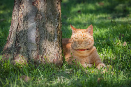 chilled out: beautiful ginger cat chilled out in the shade of a tree Stock Photo