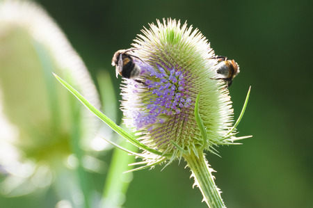 collecting: bees collecting pollen from a thistle flower