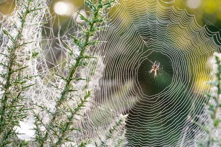 morning dew: morning dew spider web closeup on thorn vegetation Stock Photo