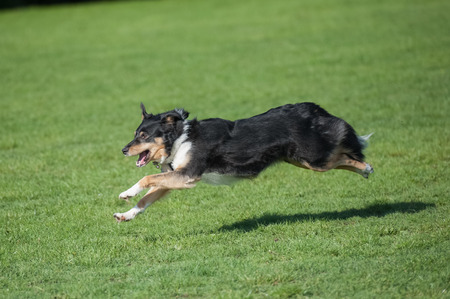 collie: energetic collie dog running downhill