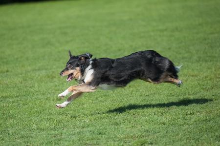 energetic: energetic collie dog running downhill