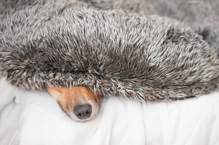 dog nose: dog hiding under a fluffy cushion - shallow d.o.f.